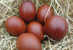 Loudounberry_Farm_Pasture_Marans_Eggs