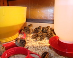 Japanese Quail or Jumbo Brown Coturnix Quail Chicks