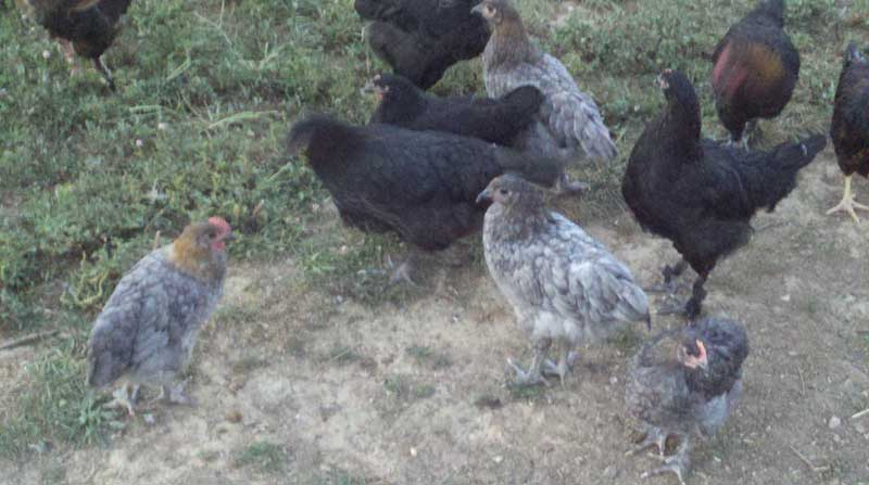 French Marans Chicks