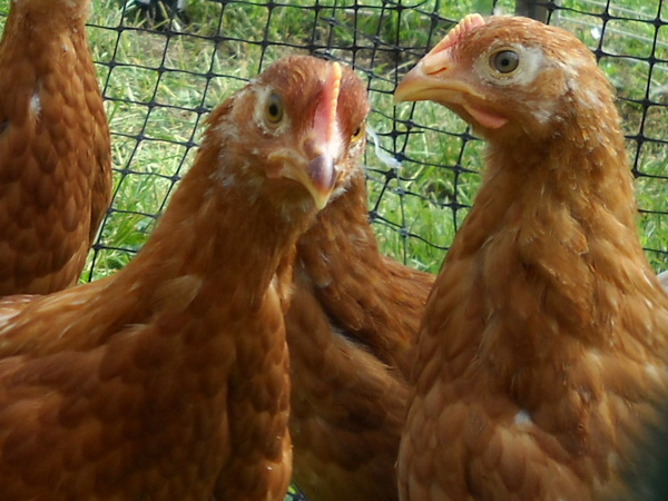 Red Star Pullets